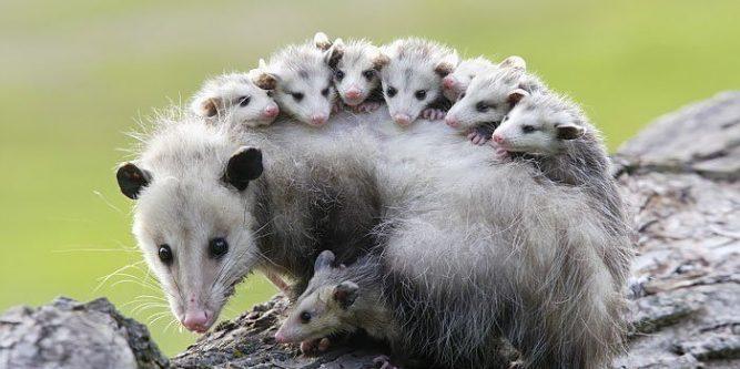 How to Eliminate a Possum