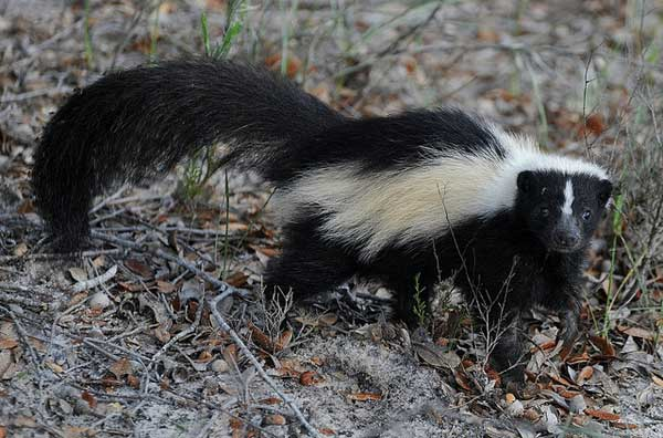 How to get rid of skunks