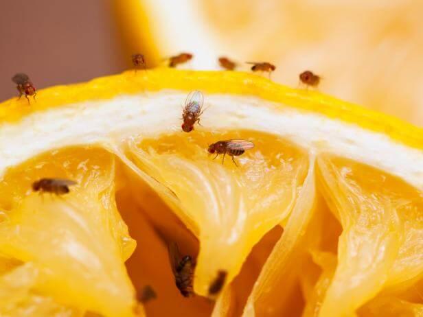 fighting fruit flies