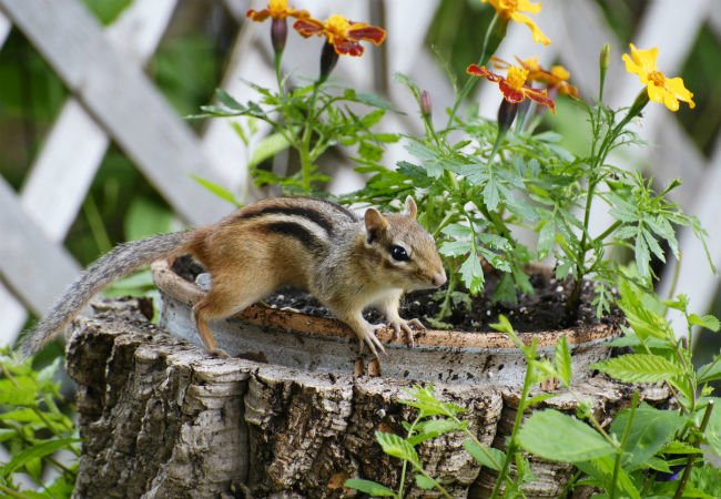 How To Get Rid Of Chipmunks X Pest