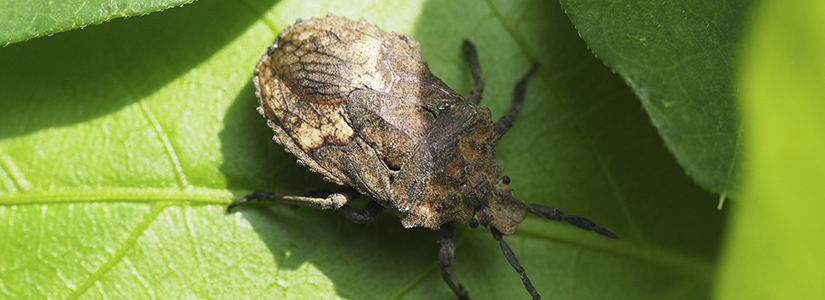 how to eliminate stink bugs