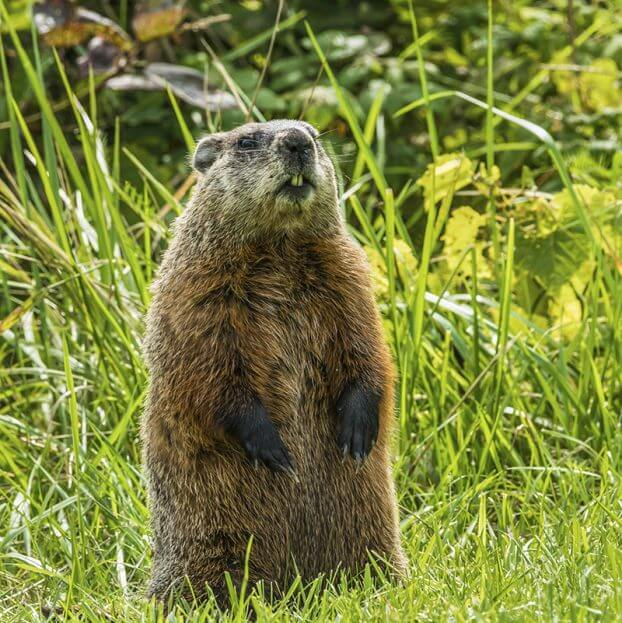 how to get rid of groundhog