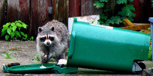 how to remove raccoons