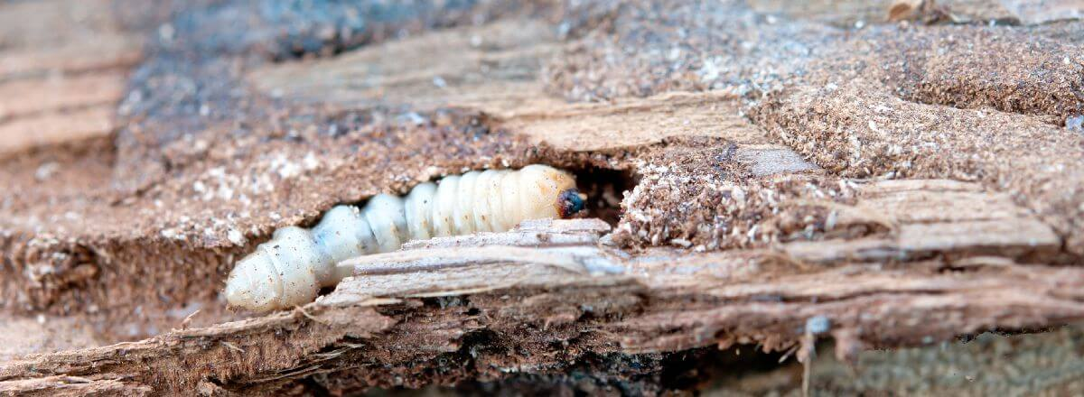 how to get rid of woodworm