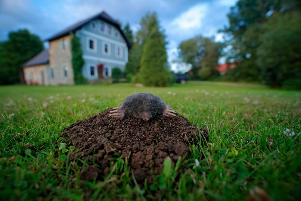 get rid of mole