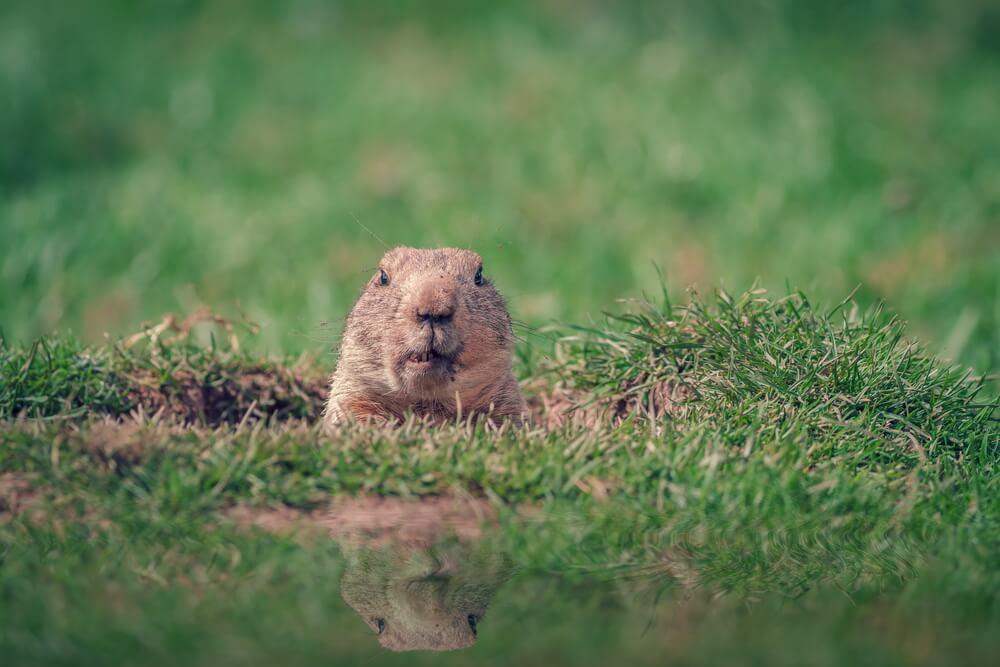 get rid of groundhogs
