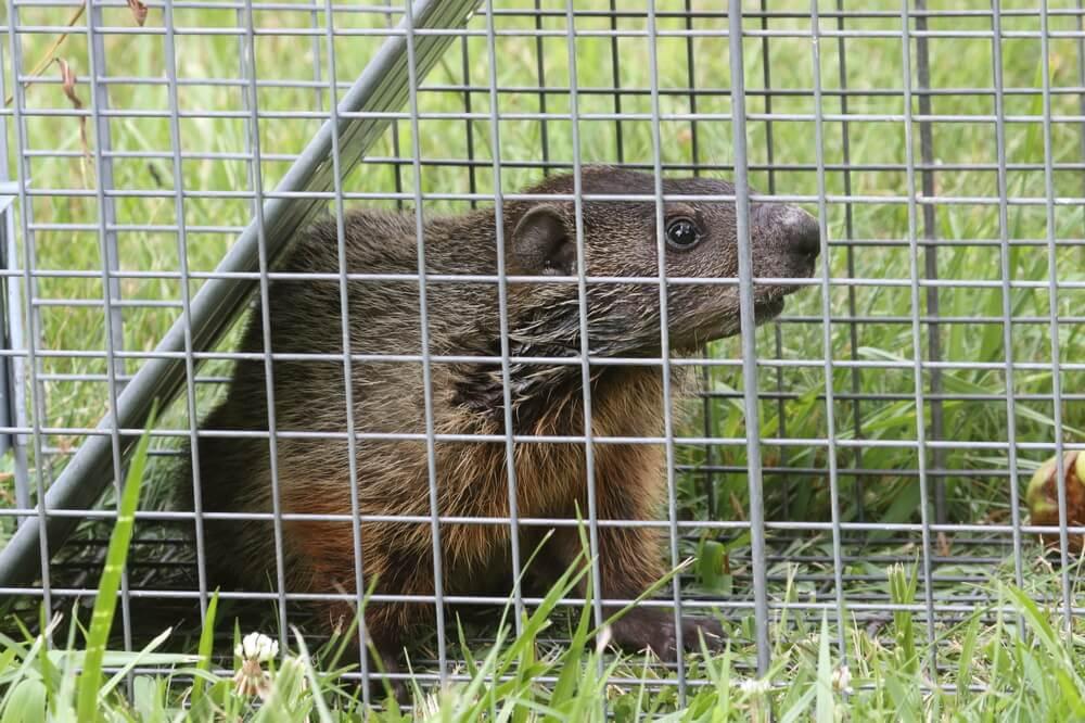 groundhog live trap