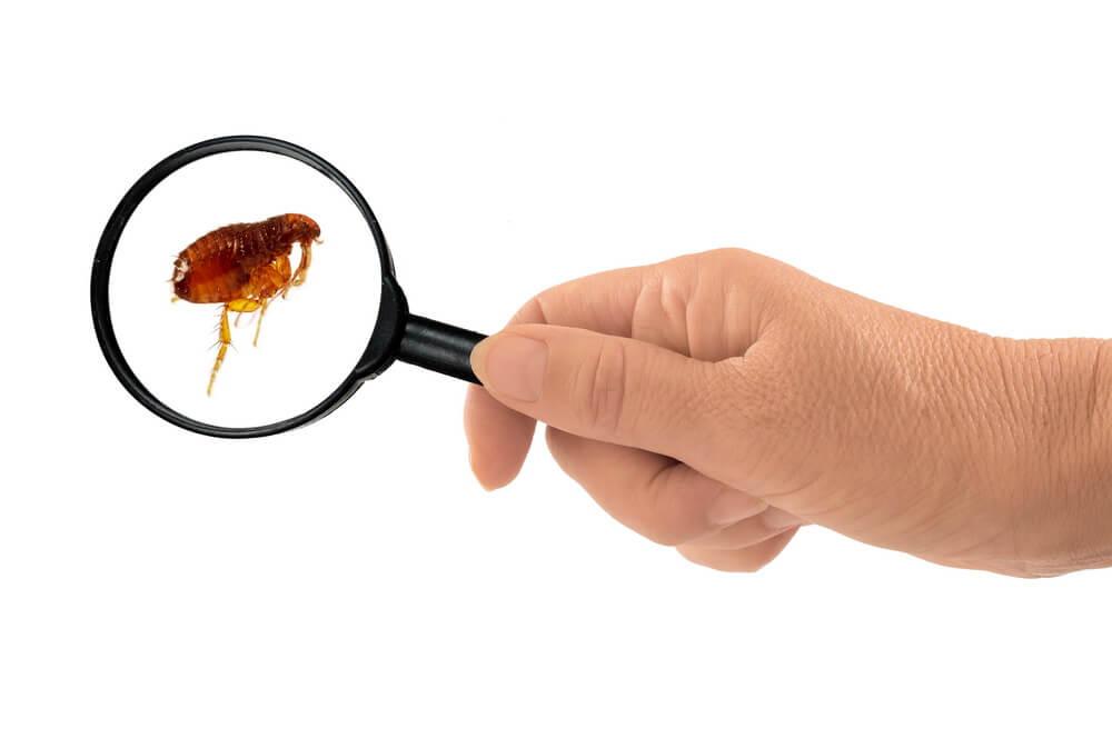 get rid of flea